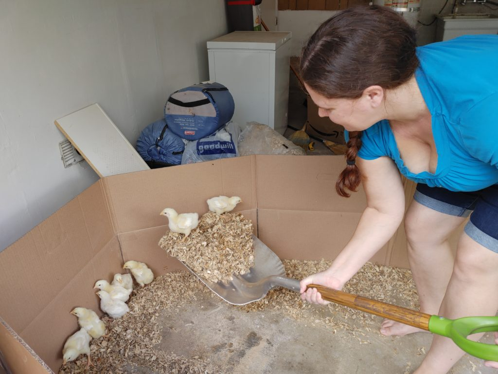 chicks bedding being shoveled out of their brooder